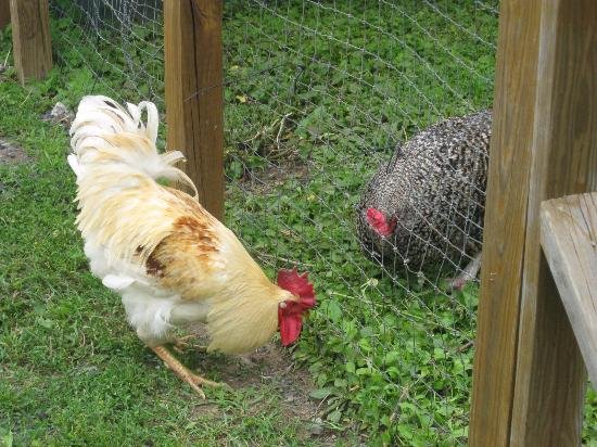 Saugerties, NY: Roosters visiting.