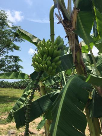 Пьяченца, Белиз: Bunches of Fun Banana Farm Tours