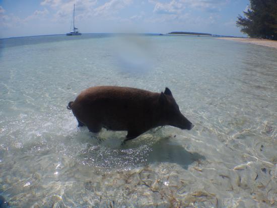 Treasure Cay, Great Abaco Island: Pig!!