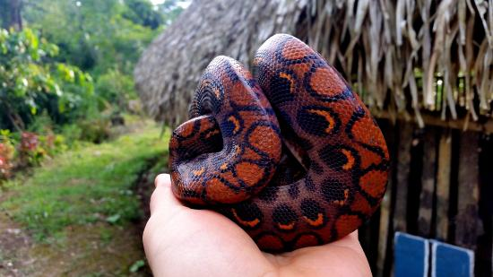 Siona Lodge: A rescued rainbow boa at the Siona indigenous village