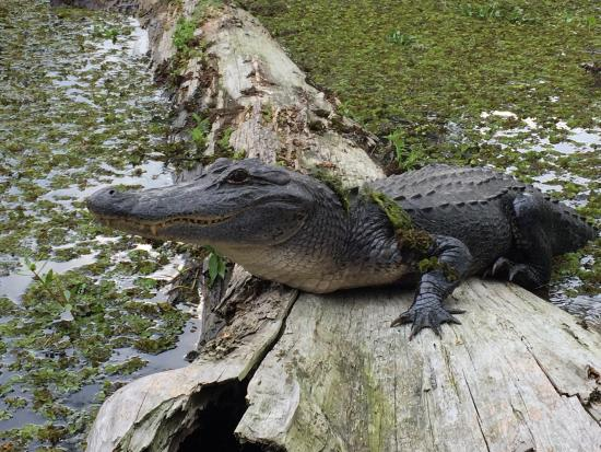 Breaux Bridge, لويزيانا: Amazing tour!! Alligators, Birds, turtles and a gorgeous sunset! Very relaxing and an informativ