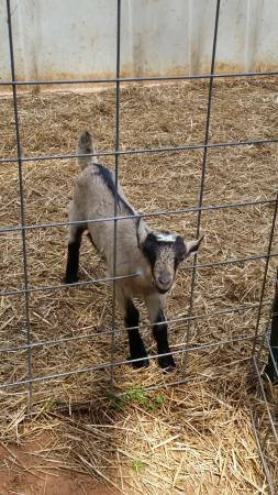 Split Creek Farm: Split Creek ... baby goat