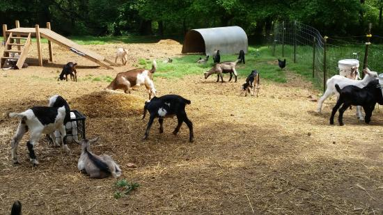 Split Creek Farm: Split Creek ... baby goats