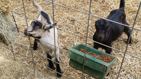 Anderson, Carolina Selatan: Split Creek ... baby goats