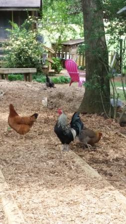 Split Creek Farm: Split Creek Chickens / Roosters