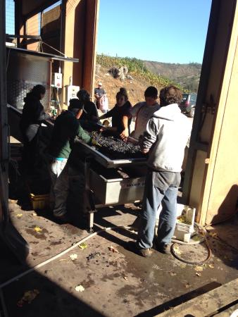 Lo Abarca, Chile: Hand selecting Pinot Noir grapes