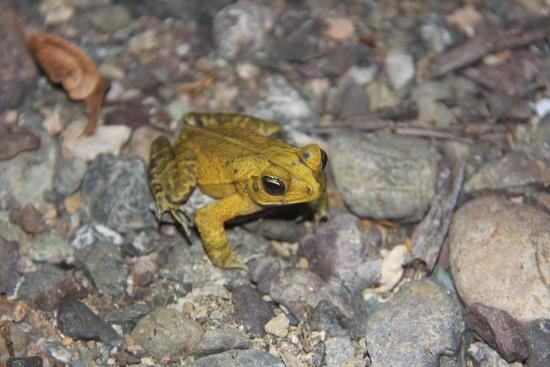 Drake Bay, Costa Rica: Yellow toad...quite common as the hike goes along the river bed