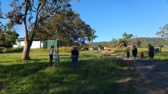 Kerry, Australia: Herding cows to the milking shed