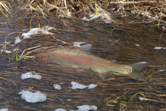 Wise River, MT: One of the beautiful rainbow trout caught in the Big Hole river.