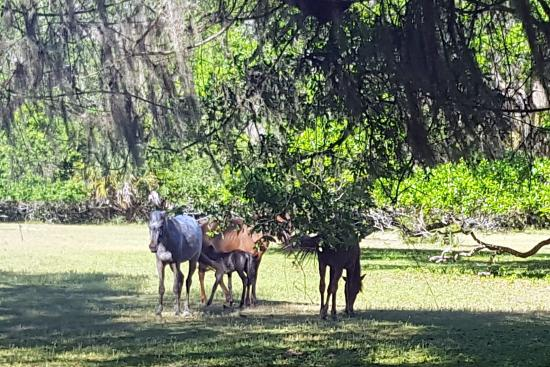 Greyfield Inn: Wild horses on the Grayfield Inn grounds