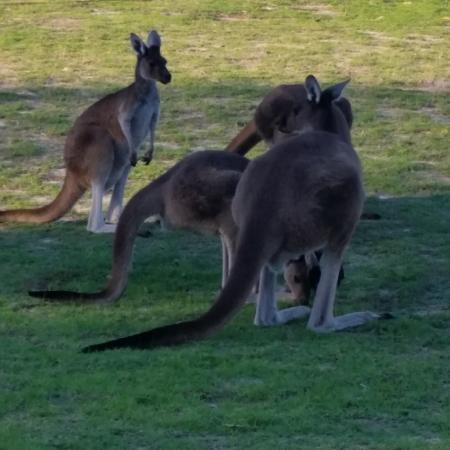 The Vines, أستراليا: Kangaroos on the Gold Course