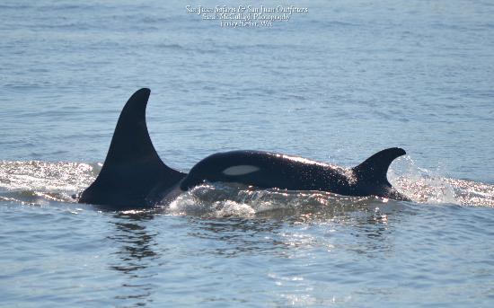 San Juan Islands, WA: whales