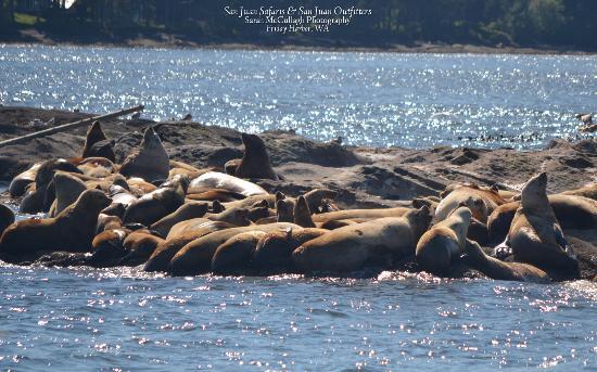San Juan Islands, WA: sea lions