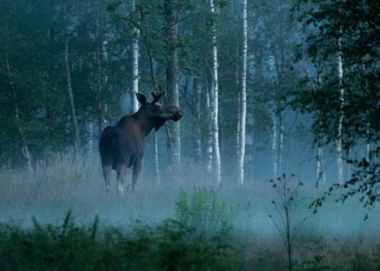 Wild Sweden - wildlife tours