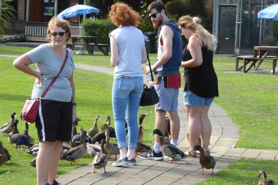 Waikanae, Nueva Zelanda: Plenty of 'interested' ducks