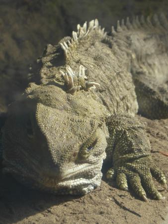 Waikanae, Nueva Zelanda: Our living 'dinosaur' - the tuatara