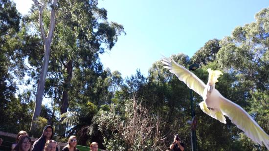 Healesville, Australië: Cockatoo flying overhead at the bird show