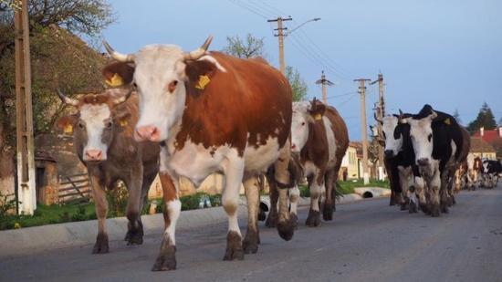 Die morgendliche Herde zieht vorbei. - Picture of Veseud11, Agnita ... | {Herde 27}