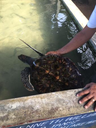 Bentota, Sri Lanka: Turtle