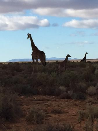 Inverdoorn Game Reserve: Giraffes spotted at Inverdoorn