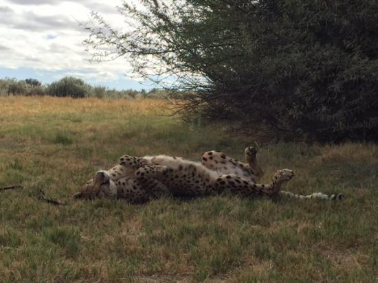 Ceres, Sudáfrica: Cheetah at Inverdoorn
