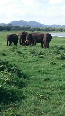 Minneriya Tusker Safaris