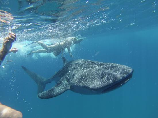 ‪Whale Shark Encounter by Cabo Adventures‬