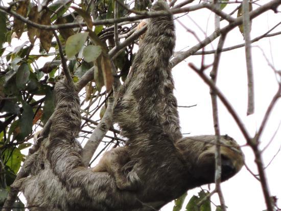 Careiro, AM: Sloth & baby