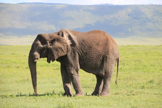 F&K Cultural Tours And Safaris - Day Tours : Elephant in Ngorongoro