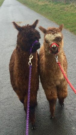 Crook, UK: Alpaca walking