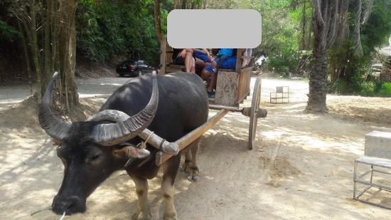 Chalong, Tailandia: Bufallo riding