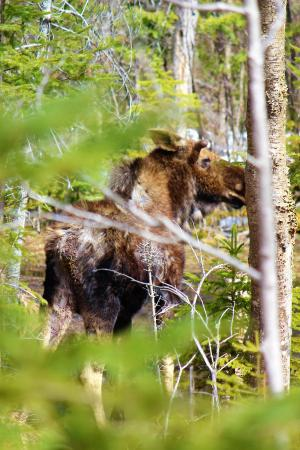Algonquin Park, Καναδάς: In search for the moose