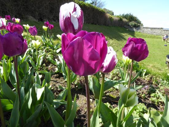 Marazion, UK: Tulips line your path from the castle to the gardens
