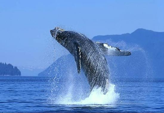 Palapas Resort: Breaching whale