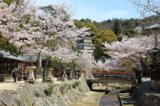 御手洗川沿いの桜並木 - 廿日市...