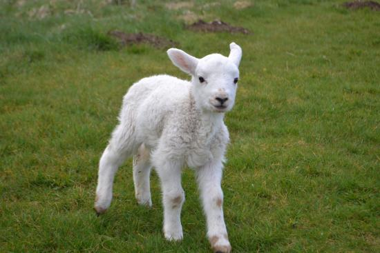 Rhydlydan, UK: One of our pet lambs