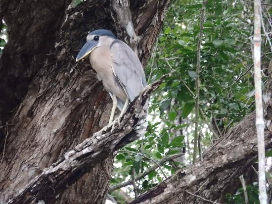 Crooked Tree Lodge: One of the numerous Boat-billed Herons seen during a morning boat tour up Spanish Creek