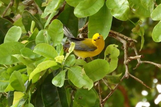 Crooked Tree Lodge: A feeding and curious Prothonotary Warbler feeding on a tree near our cabana