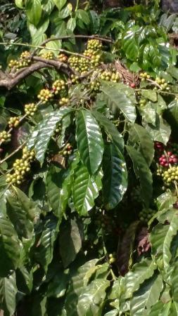 Club Mahindra Madikeri, Coorg: Green pepper growing on the trees