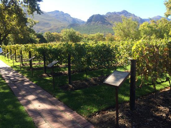Franschhoek, Sør-Afrika: Grapes and grapes