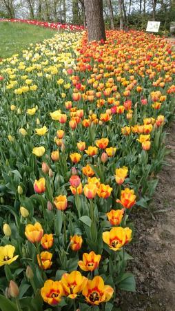 Pralormo, Italia: fiume di tulipani