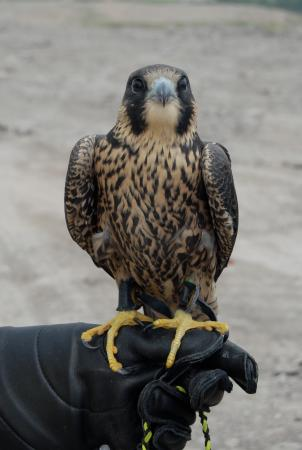 Erin, Canadá: One of our Peregrine Falcons