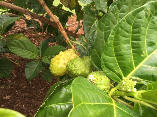 Kilauea, Hawái: Different stages of Noni fruit