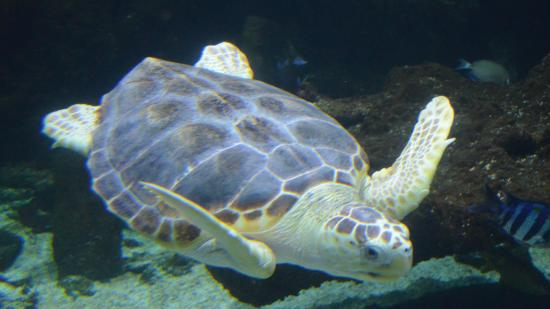 Tortue photo de aquarium la rochelle la rochelle for Aquarium tortue