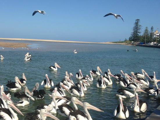 Pelican feed The Entrance NSW