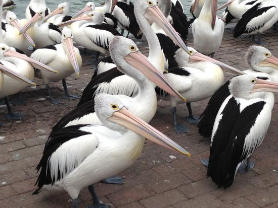 Pelicans gather at The Entrance for the daily feed
