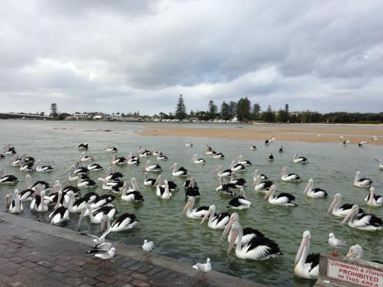 Pelicans at The Entrance NSW