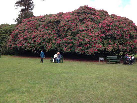 St Austell, UK: Amazing Rhodies