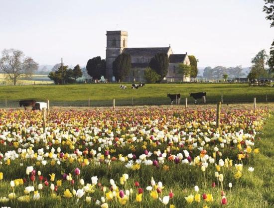 Farrington's Farm- Cowtastic Farm Park: Pick Your Own Tulips
