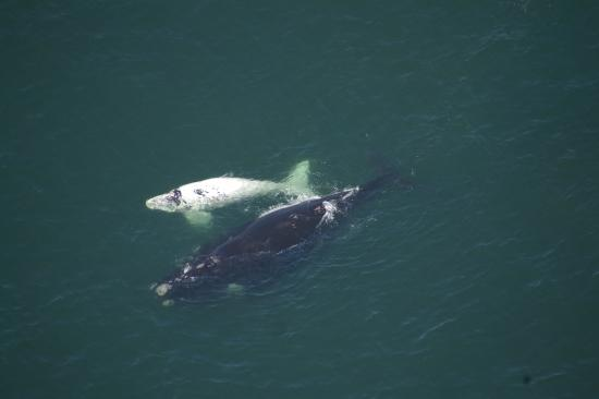Cliff Lodge: Southern Right Whales in our bay